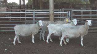 Polyestrous Nudie ewes April 2016