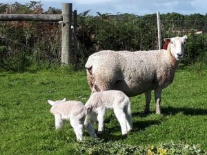 Maternal Composite Infused ewe