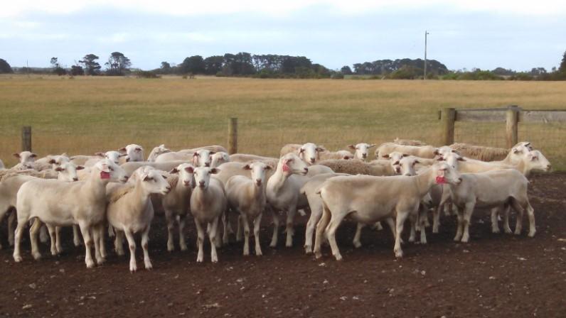 2014 drop stud ewes