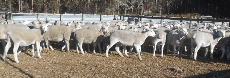 commercial lambs