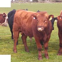 Twinner Cattle
